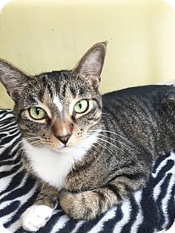 Domestic Shorthair Cat for adoption in Boca Raton, Florida - Harriet