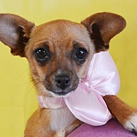 Chihuahua Mix Dog for adoption in Littlerock, California - Amber