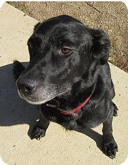 Labrador Retriever Mix Dog for adoption in Glenwood, Minnesota - Marley