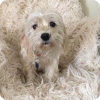 Maltese/Poodle (Miniature) Mix Dog for adoption in Redondo Beach, California - White Mocha-ADOPT Me!
