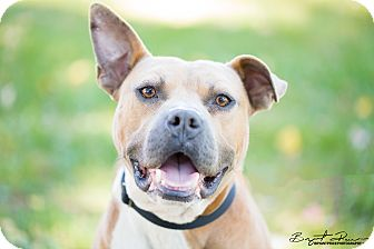 American Pit Bull Terrier Mix Dog for adoption in Monroe, North Carolina - Tank