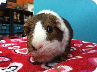Guinea Pig for adoption in Coral Springs, Florida - Jerry (Neutered)
