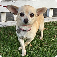 Chihuahua Mix Dog for adoption in Santa Ana, California - Khloe (BH)
