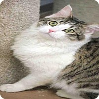 Adopt A Pet :: MITTENS - Plano, TX