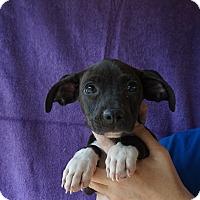 Adopt A Pet :: Jay Jay - Oviedo, FL