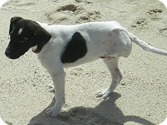 German Shorthaired Pointer Mix Puppy for adoption in Vancouver, British Columbia - Oreo - Pending
