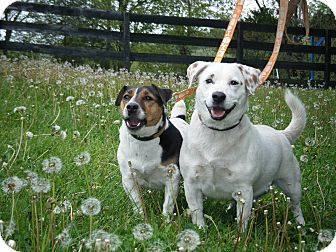 Jack Russell Terrier Dog for adoption in Rhinebeck, New York - Indiana