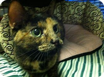 Domestic Shorthair Cat for adoption in Port Republic, Maryland - Sophia
