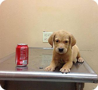 Labrador Retriever Mix Puppy for adoption in Brooklyn, New York - Abdiel