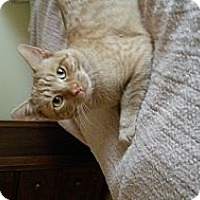 Adopt A Pet :: Simba - West Dundee, IL