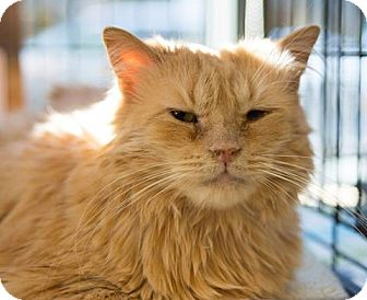 Domestic Longhair Cat for adoption in New York, New York - Nala