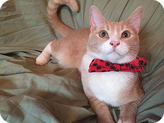 Domestic Shorthair Cat for adoption in Cerritos, California - Flynn Ryder