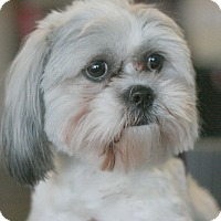 Adopt A Pet :: Bolt - Canoga Park, CA