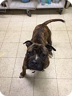 Boxer/Terrier (Unknown Type, Medium) Mix Dog for adoption in Fulton, Missouri - Klondike- Ohio