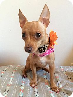 Chihuahua Mix Dog for adoption in Manassas, Virginia - Rose