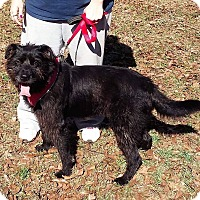 Terrier (Unknown Type, Medium) Dog for adoption in Patterson, New York - Apollo