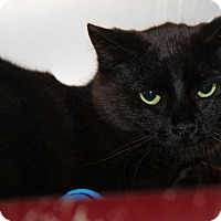 Adopt A Pet :: Ebony (Spayed) - Marietta, OH