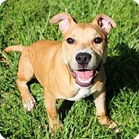Boxer/Bulldog Mix Puppy for adoption in Glastonbury, Connecticut - Gilligan