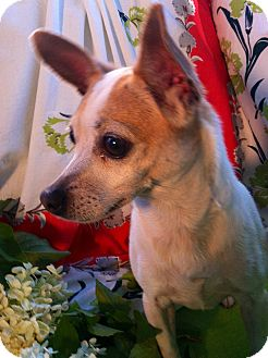 Chihuahua Dog for adoption in Cumberland, Maryland - Cakes