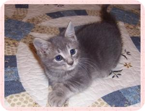 Polydactyl/Hemingway Kitten for adoption in South Plainfield, New Jersey - Kennedy