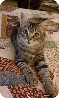 Domestic Mediumhair Kitten for adoption in Morgan Hill, California - Desi
