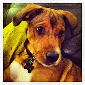 Labrador Retriever/German Shepherd Dog Mix Puppy for adoption in Miami, Florida - Mara