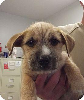 Yorkie, Yorkshire Terrier Mix Puppy for adoption in Franklin, North Carolina - Ralph