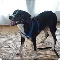 Adopt A Pet :: Briley - Albany, NY