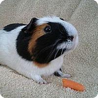 Adopt A Pet :: Rajah - Brooklyn Park, MN