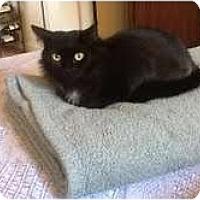 Adopt A Pet :: Moon PIe (3-legged lapsitter) - Arlington, VA