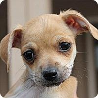 Adopt A Pet :: Carly - La Habra Heights, CA