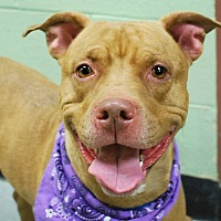 Pit Bull Terrier Mix Dog for adoption in Ridgewood, New Jersey - BASHA