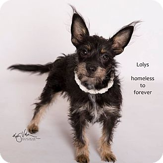 Chihuahua/Terrier (Unknown Type, Small) Mix Dog for adoption in Sherman Oaks, California - Lolys