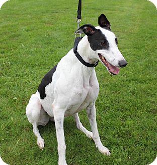 Greyhound Dog for adoption in Carol Stream, Illinois - Sarah Angel