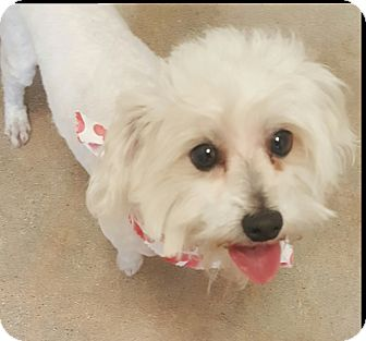 Terrier (Unknown Type, Small)/Maltese Mix Dog for adoption in Canoga Park, California - KJ