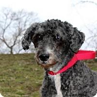 Labrador Retriever/Poodle (Standard) Mix Dog for adoption in Methuen, Massachusetts - BETTY