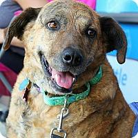 Catahoula Leopard Dog/German Shepherd Dog Mix Dog for adoption in Springfield, Missouri - Marie