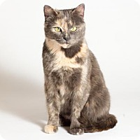 Domestic Shorthair Cat for adoption in Kingston, Ontario - Bailey