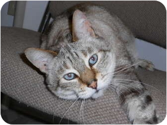 Domestic Shorthair Cat for adoption in Chesapeake, Virginia - Jin