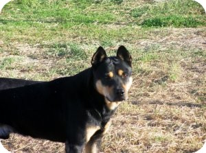 Jindo/Rottweiler Mix Dog for adoption in Quinlan, Texas - Buck