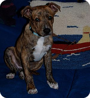Mountain Cur Mix Puppy for adoption in Newtown, Connecticut - Jake