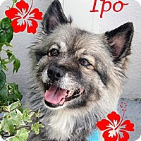 Adopt A Pet :: Ipo - Los Altos, CA