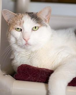 Domestic Shorthair Cat for adoption in Palm Springs, California - Milkdud