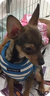 Chihuahua/Toy Fox Terrier Mix Dog for adoption in Glendale, Arizona - SAMMIE