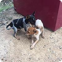 Adopt A Pet :: Blue - Del Rio, TX