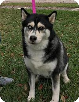 Husky Dog for adoption in New Smyrna Beach, Florida - Bella