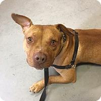Adopt A Pet :: Thor - Mt Vernon, NY