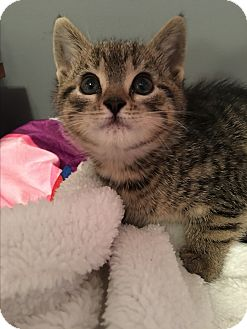 Domestic Shorthair Kitten for adoption in Mount Laurel, New Jersey - Suess