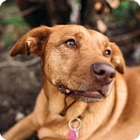 Adopt A Pet :: Foxy - Fort Lauderdale, FL