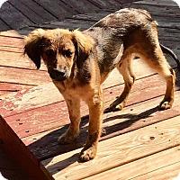 Adopt A Pet :: Deacon - Goldens Bridge, NY
